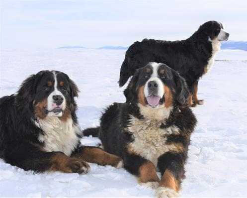 Bernese Dogs in snow - Utah Bernedoodles