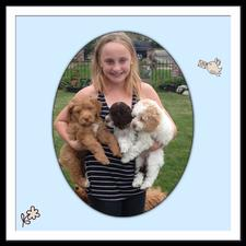 Grandkid holding mini labradoodle puppies; Puppies are red, parti white and brown and parti red and white markings