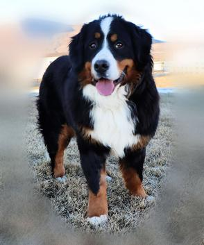 Gemma Bernese Mountain Dog