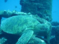 turtles hawaii scuba diving
