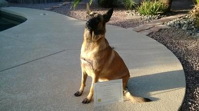 "<img alt=""medical service dog Nahla sitting, next to her is her AKC Canine Good Citizen Certificate award"">"