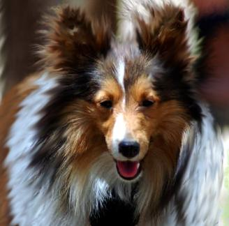 Toy Shelties, mini minature Shetland Sheepdogs, Poshies, AKC