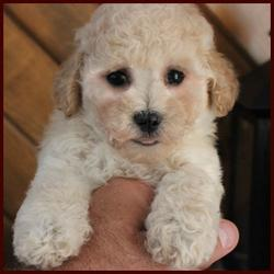 Rolling Meadows Poochon puppy