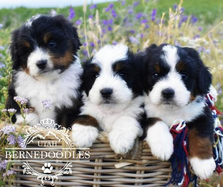 Mini Bernedoodle Puppies in Basket