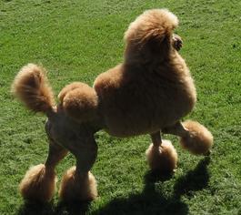 Palmares Red Standard Poodles - Red Standard Poodles,Full