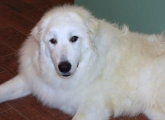 Wells' Providence Great Pyrenees AKC Livestock Guardian Dogs and puppies