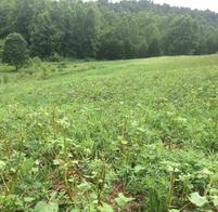soybean food plot