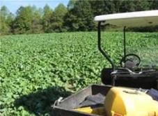 Brassica Food Plot