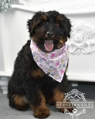 Phantom Bernedoodle adult mini