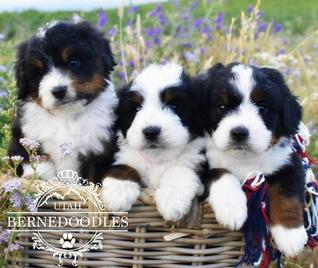 Tricolor Mini Bernedoodles in a Basket - Utah Bernedoodles