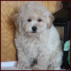 Rolling Meadows Puppies - Poochon Puppies for Sale, Poochon Puppies