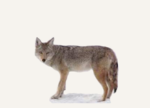 New Mexico Coyote