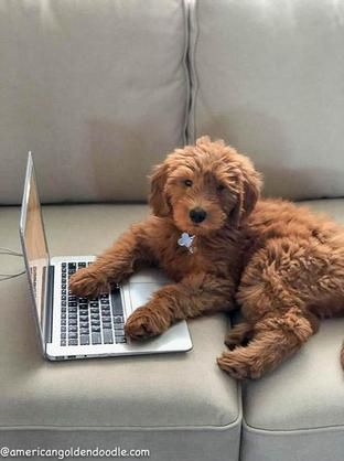 Goldendoodle Puppies for Sale Massachusetts - American Goldendoodle
