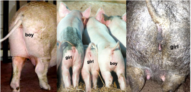 Male Or Female Potbellied Pig Pets-2616