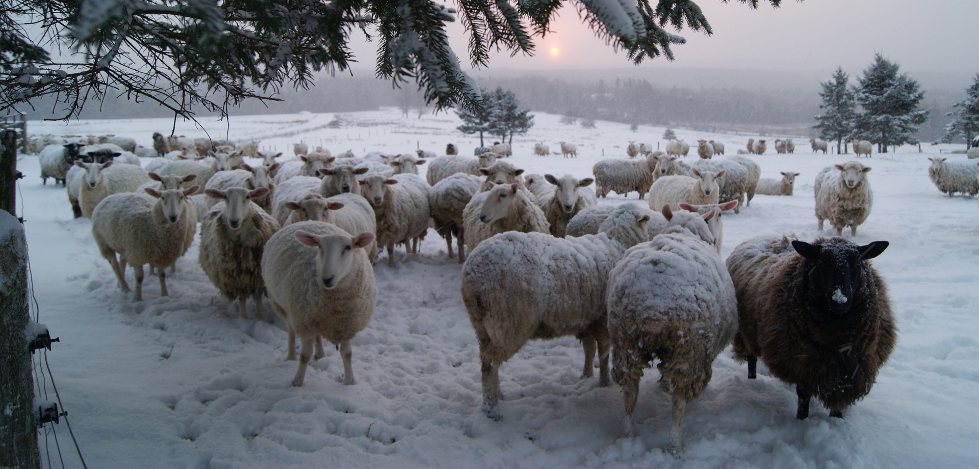 Canadian Sheep Breeders' Association - Online