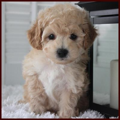 bichon poo puppy for sale