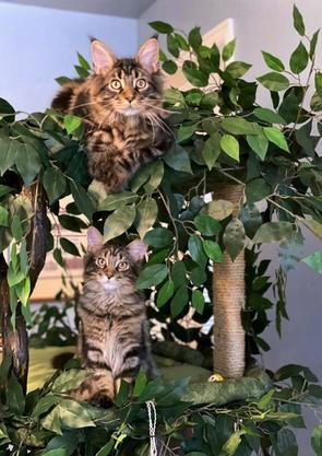 Maine Coon Cat Trees