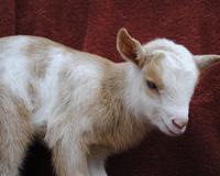 Nigerian Dwarf Goats, Triple Registered Nirgerian Dwarf Dairy Goats