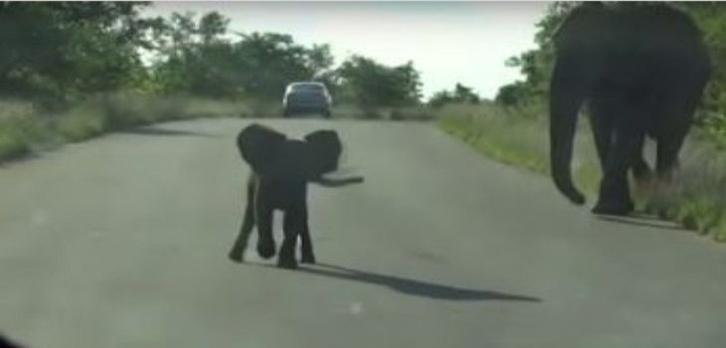 Brave baby elephant who protects his mom.