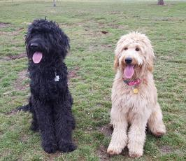 Idaho Goldendoodles