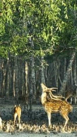Deers Of Sundarbans
