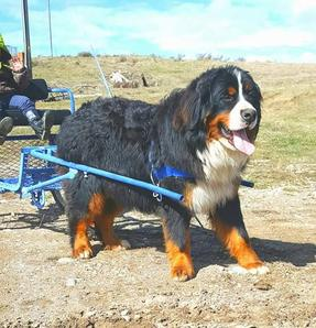 Bernese Mountain Dog Pulling Cart - Utah Bernedoodles