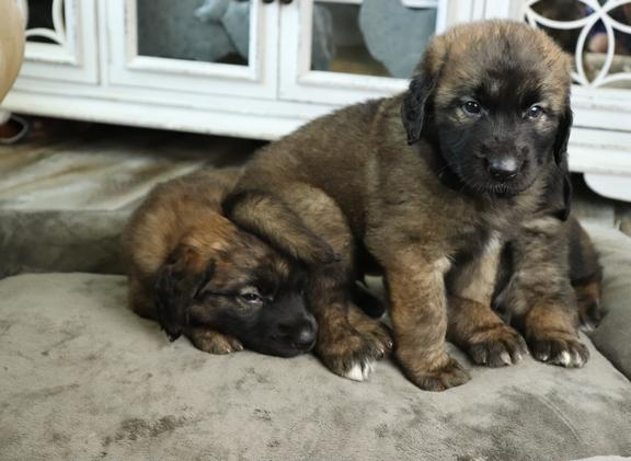 Leonberger Puppies