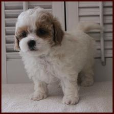 male white and red markings shichon poo