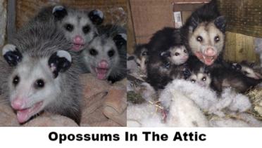 Opossum Removal Opossum Control Opossum Trapping