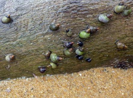 Colorful little snails crawl along a submerged log along the sea shore at Leaning Palm Resort in Belize. All Inclusive Vacations