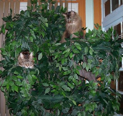 Cat Trees for Maine Coons