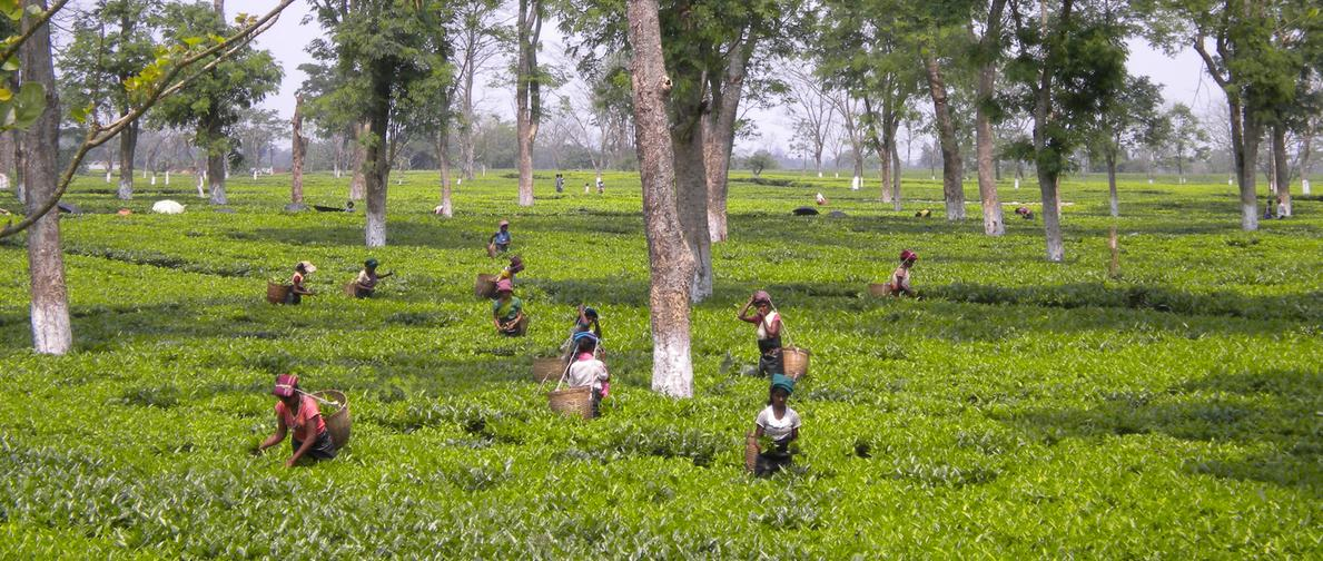 Tea Garden tour Assam