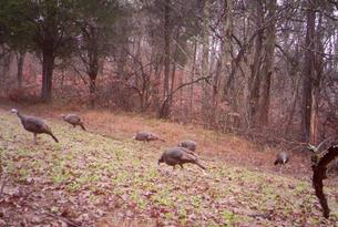 Kentucky turkey hunts
