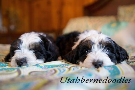 Tricolor Bernedoodle Puppies on Bed