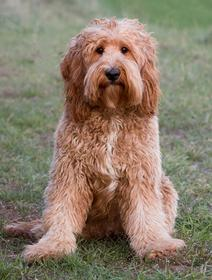 teddybear goldendoodle, portland, seattle,
