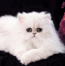 Appealing White Teacup Persian Kittens Gallery - Best Image Engine ...