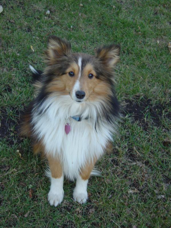 toy mini minature akc sheltie shetland sheepdog girls females
