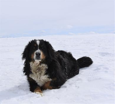 Lulu Bernese Dog