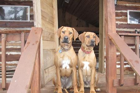 Rhodesian Ridgeback Puppies - Songede and Mekko