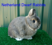 netherland dwarf rabbits pedigree bunnies for sale
