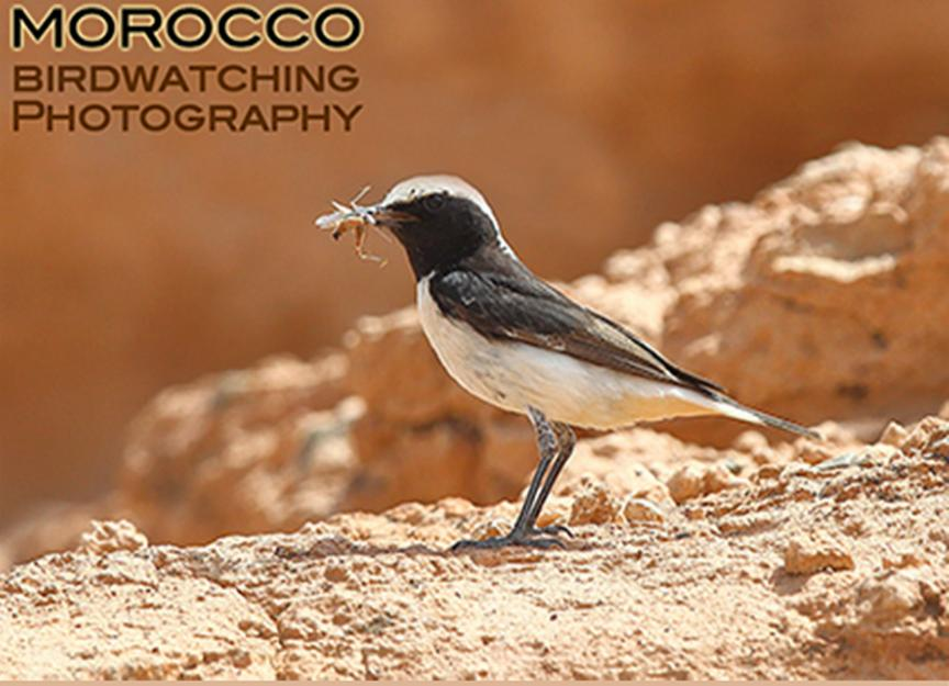 Maghreb wheatear feeding young