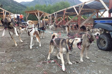Alaskan Husky team is ready to pull a cart full of guests on the Pet the Pups private tour out of Skagway Alaska in BC, north of Skagway, Alaska.