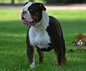 Khaos Kennels Kennel Superior Olde English Bulldogges