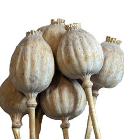Home poppy pods come from the poppy flower they are used in dried arrangements frequently and have a very unique look to them many of our customers will use mightylinksfo