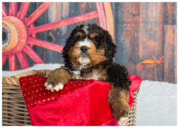 Mini Bernedoodle F1B Planned Litters Standard Bernedoodle Puppies