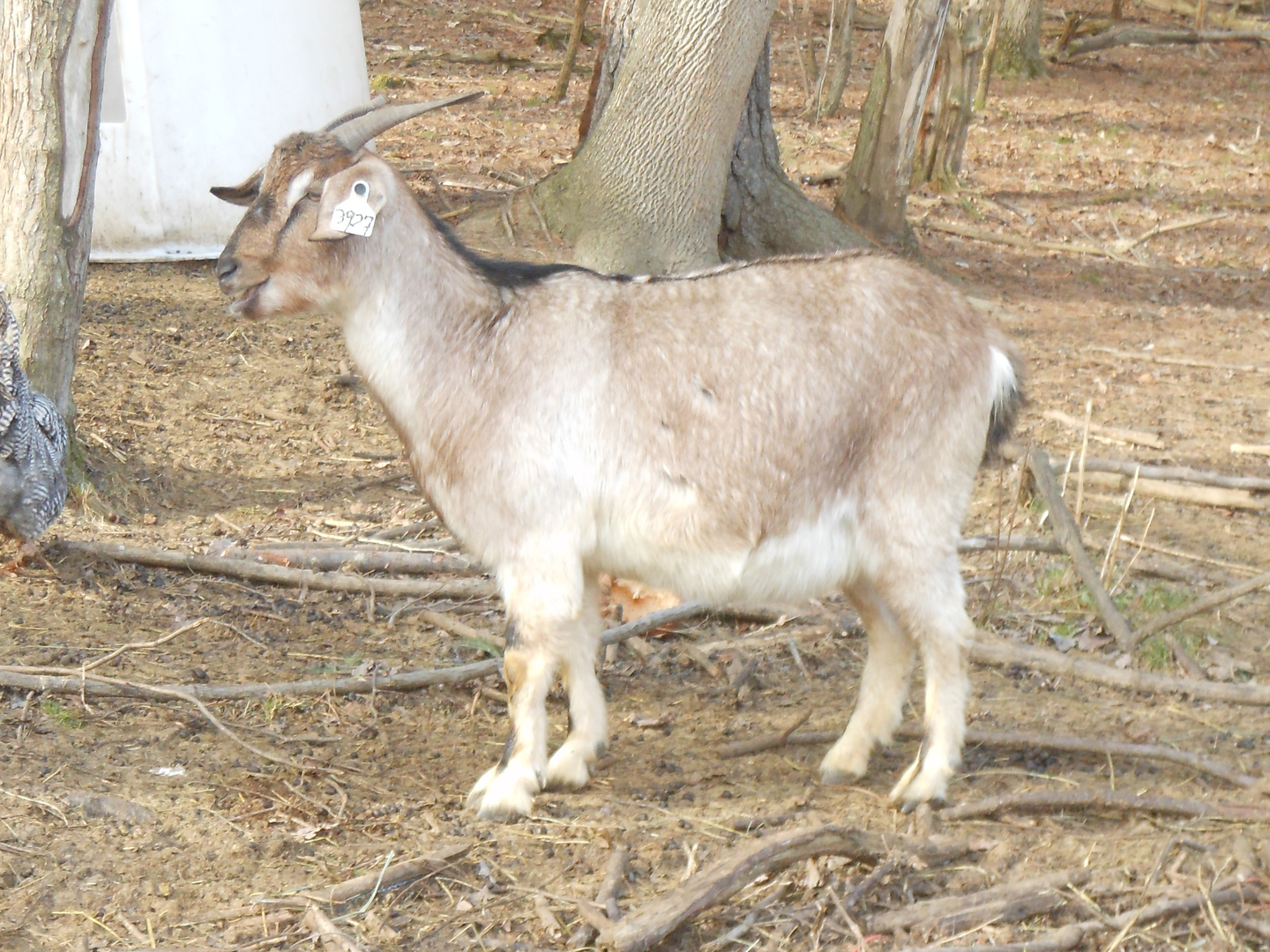 Kiko Goats For Sale - Mickel Farm - New Waterford, Oh