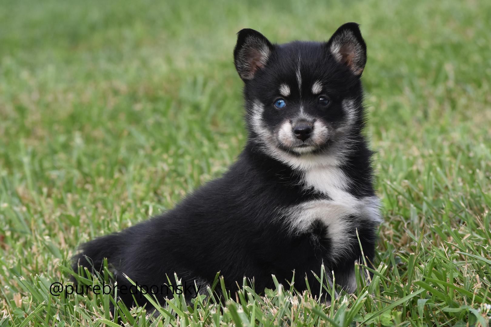 Purebred Pomsky Puppies For Sale - Pomsky breeder
