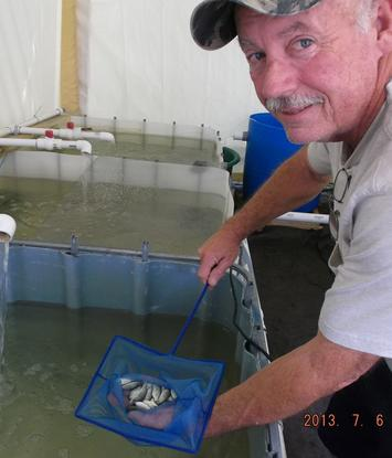 Greg with a net full of tilapia fingerlings.