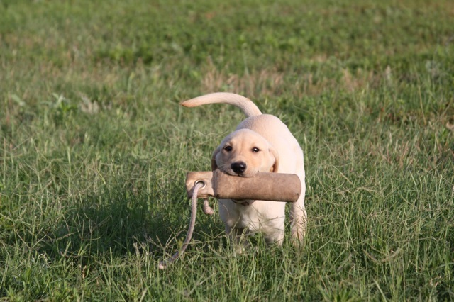 Labrador Labs For Sale Started Dogs Retriever Training Texas