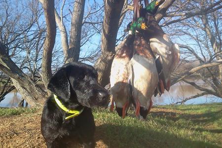 Labrador Labs for sale, Started dogs, Retriever Training, Texas